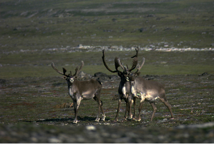Caribou in the Koroc River Valley, Torngat Mountains.